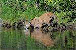 Mountain Lion on Riverbank. Minnesota, USA