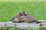 Marmotte avec Young, Minnesota, USA