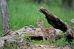 White Tailed Deer Fawn, Minnesota, USA