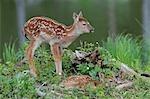 White Tailed Deer Fawns, Minnesota, USA