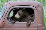 Ours noir en vieux camion, Minnesota, USA