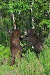 Black Bears Sparring, Minnesota, USA