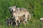 Loup gris avec des chiots, Minnesota, USA