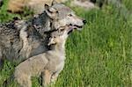 Gray Wolf Pup léchage mère, Minnesota, USA