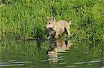 Gray Wolf Pup by Water, Minnesota, USA