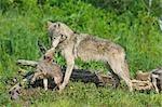 Loup gris avec Pup, Minnesota, USA