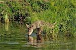 Gray Wolf Pup Drinking Water, Minnesota, USA