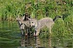 Chiots loup gris de l'eau, Minnesota, USA