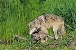 Gray Wolf with Pup, Minnesota, USA
