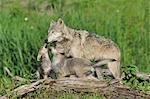 Gray Wolf with Pups, Minnesota, USA
