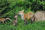 American Red Fox with Pups, Minnesota, USA