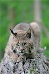 Bobcat, Minnesota, USA