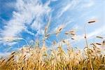 Field of Barley, North Rhine-Westphalia, Germany