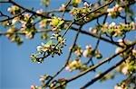 Apple Tree in Blossom, Salzburger Land, Austria