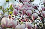Close-up of Magnolia Tree in Blossom, Salzburg, Austria