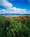 Fleurs sauvages à Roundstone, Connemara, co. Galway, Irlande