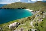 Achill Island, Co Mayo, Ireland; Sheep above Keem Strand