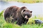 Grizzly Bear, réserve faunique de Kenai, péninsule de Kenai, Alaska, USA