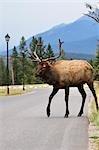 Wapiti, Parc National Jasper, Alberta, Canada
