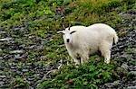 Chèvre de montagne, le Parc National de Kenai Fjords, Alaska, USA