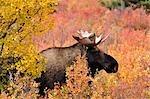 Bull Moose en automne, le Parc National Denali, Alaska, USA