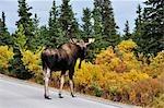 Bull Moose, traverser la route, le Parc National Denali, Alaska, USA