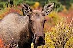 Orignaux femelles à l'automne, le Parc National Denali, Alaska, USA