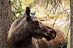 Orignal, Parc National Jasper, Alberta, Canada