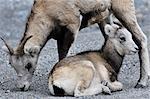 Pierre mouton mère et bébé, Parc Provincial de Stone Mountain, en Colombie-Britannique, Canada
