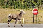 Bighorn Sheep, Peter Lougheed Provincial Park, Alberta, Canada