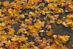 Maple Leaves, Nuremberg, Bavaria, Germany