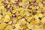 Hazelnut Leaves, Nuremberg, Bavaria, Germany