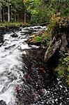 Frai de saumon, chutes de la rivière russe, péninsule de Kenai, Alaska, USA