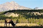Elch und Pyramid Mountain, Jasper Nationalpark, Alberta, Kanada
