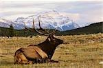 Elk and Mount Edith Cavell, Jasper National Park, Alberta, Canada