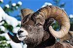Bighorn Sheep, Parc National Waterton Lakes, Alberta, Canada