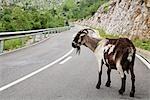 Goat on Mountain Road, Picos de Europa, Asturias, Spain