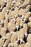 Merino-Schafe