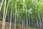 Forêt de bambous, Tenryuji, Sagano, Kyoto, Japon