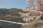 Cherry blossom, Arashiyama in Spring, Kyoto, Japan