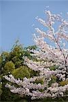 Cerisiers en fleurs avec la forêt de bambous, Arashiyama au printemps, Kyoto, Japon