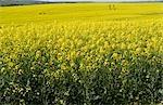 Yellow Canola fields near Caledon, Western Cape