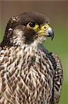 Portrait of a juvenile Peregrine Falcon (Falco peregrinus), Western Cape Province, South Africa