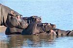 Close-up view of Hippopotamus (Hippopotamus amphibius) sunning themselves, Tala Game Reserve, KwaZulu-Natal Province, South Africa