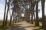Avenue des pins, sur la route, la Province du Western Cape, en Afrique du Sud