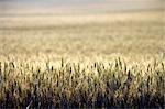 Vision créative du blé champ, Overberg, Province occidentale du Cap, Afrique du Sud