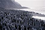 Penguins de jugulaire (pygoscelis antarctica).