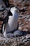 Chinstrap penguins (pygoscelis antarctica) at Hannah Point.