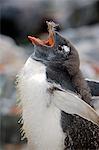 L'Antarctique, la péninsule Antarctique. Un manchot mue appelle pour son prochain repas à la colonie de reproduction à Paradise Harbour.