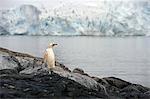 Antarctique, la péninsule Antarctique, Paradise Harbour. Un poussin manchot albino se dresse face à la mer avec la calotte glaciaire dans l'arrière-plan.